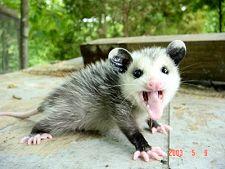 possumbaby.jpg